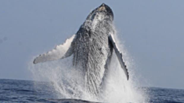 humpback0806