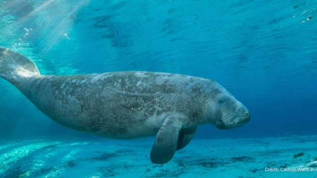 """Increases in population and habitat improvements mean manatees will now be considered a """"threatened"""" species. Photo by Carlton Ward Jr. for Visit Florida."""