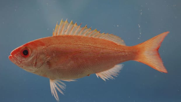 red-snapper-flickr-noaa_photo_libraryx500