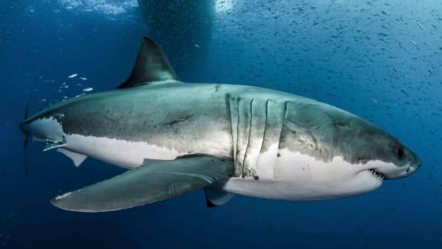 White-shark_2b_Byron_Dilkes_Photox860