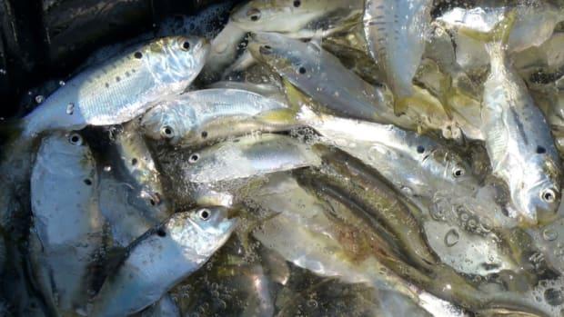 omega overfishing- menhaden