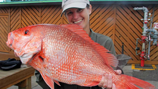 snapper-photo courtesey of Fish and Wildlife Research Institute.