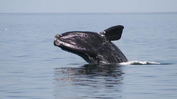 Right-whale-breach