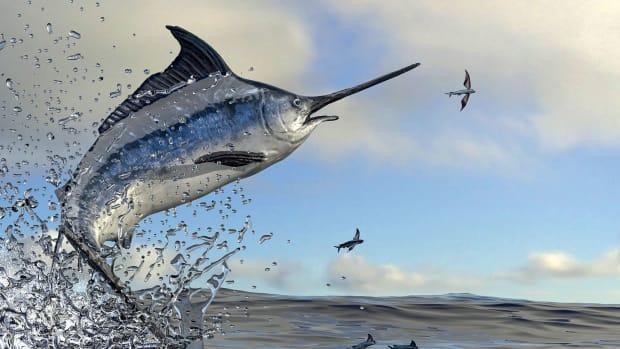 1-sailfish--adobe-stock