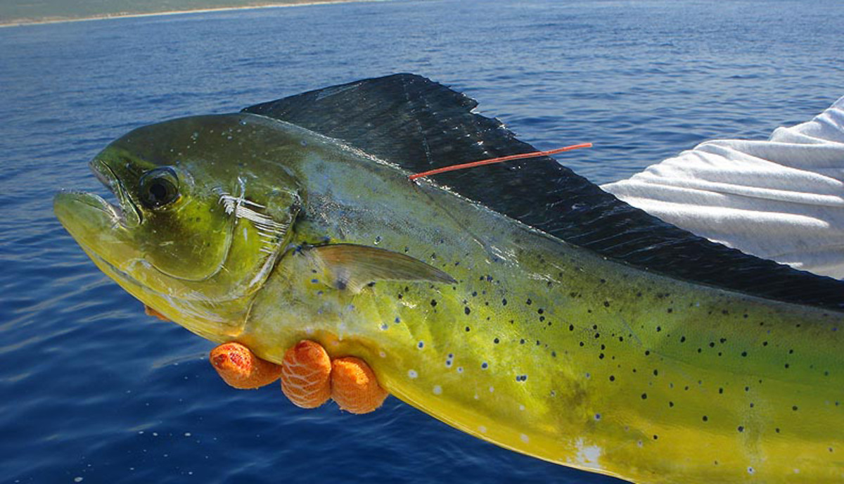 dolphinfish1021