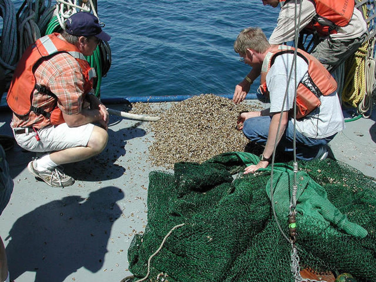 Researchers examine invasive Quagga Mussels from one trawl in Lake Erie