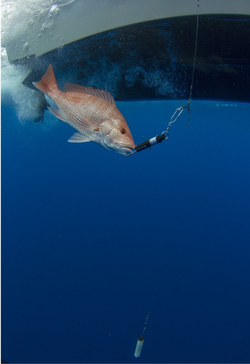 The ASA will help survival of red snappers that are caught at released