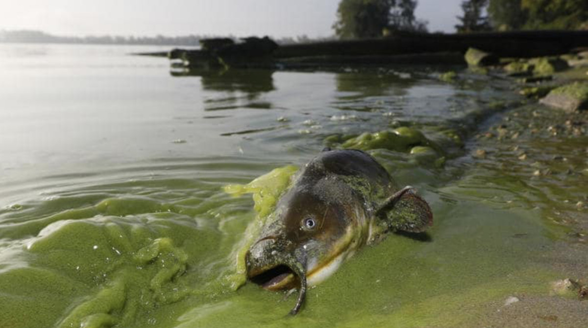 Toxic algae blooms are forming along coastal Florida.