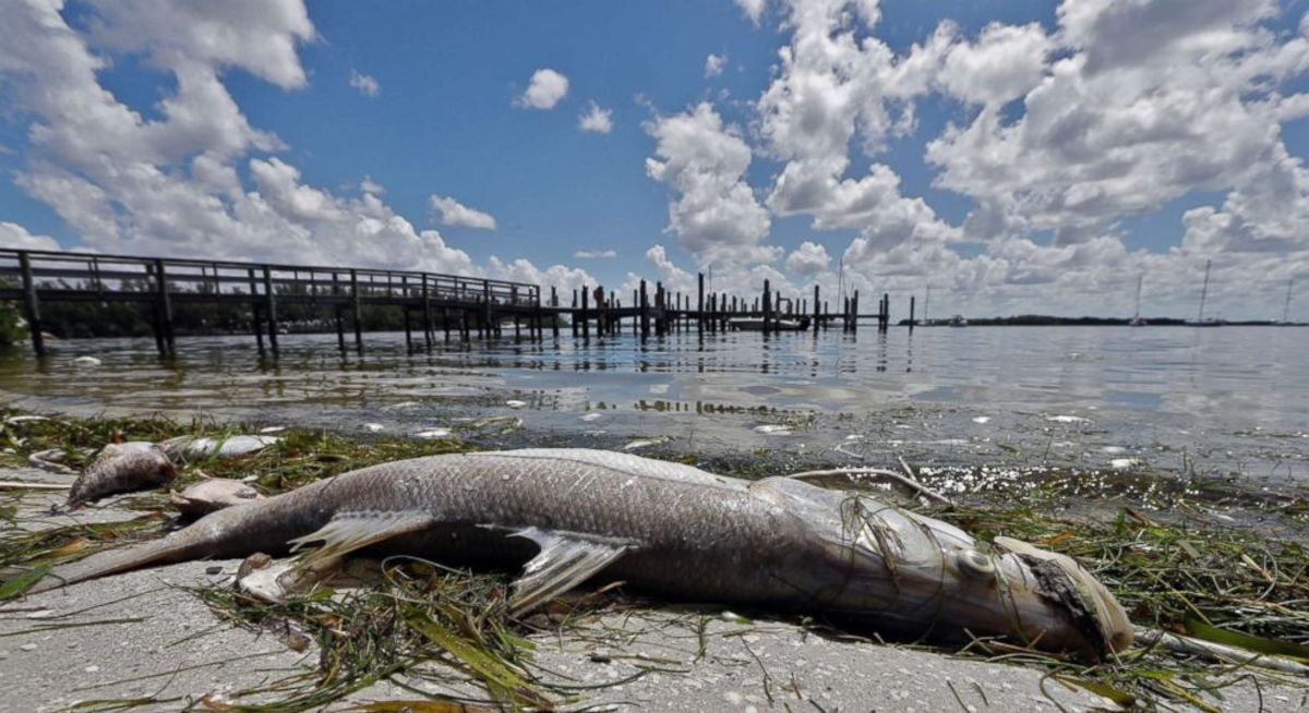 Red tide has led to the death of all species of wildlife in Florida waters this summer.