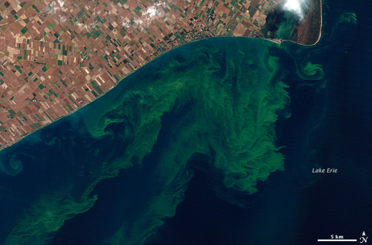 Lake Erie is expected to see a massive toxic algae bloom. Shown here is one of the lake's worst on record in 2011. Credit: Landsat image created for NASA's Earth Observatory by Jesse Allen and Robert Simmon, using data provided courtesy of the United States Geological Survey. MODIS Rapid Response imagery provided courtesy of Jeff Schmaltz.