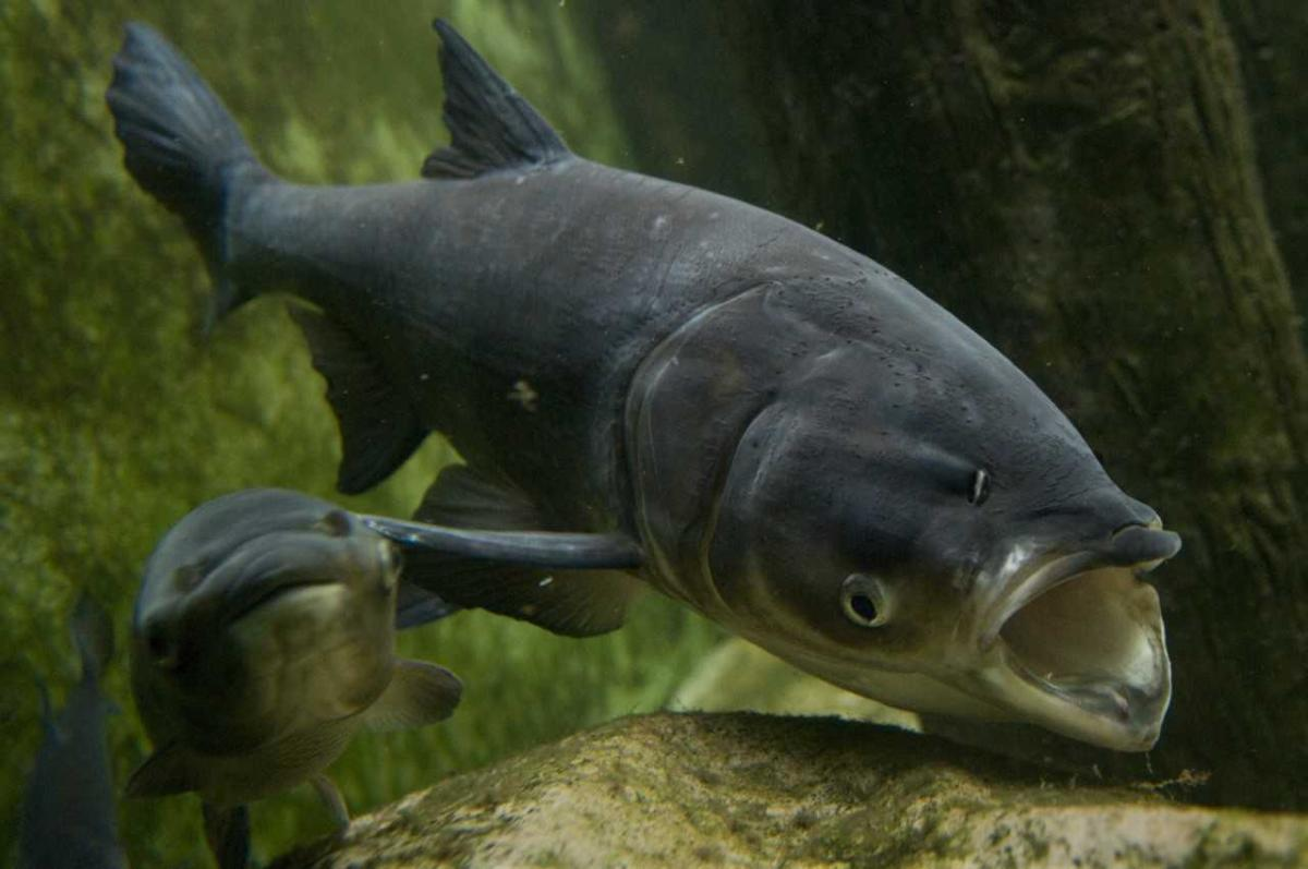 Lawmakers ask President Trump for help with eliminating Asian carp - Trade Only Today
