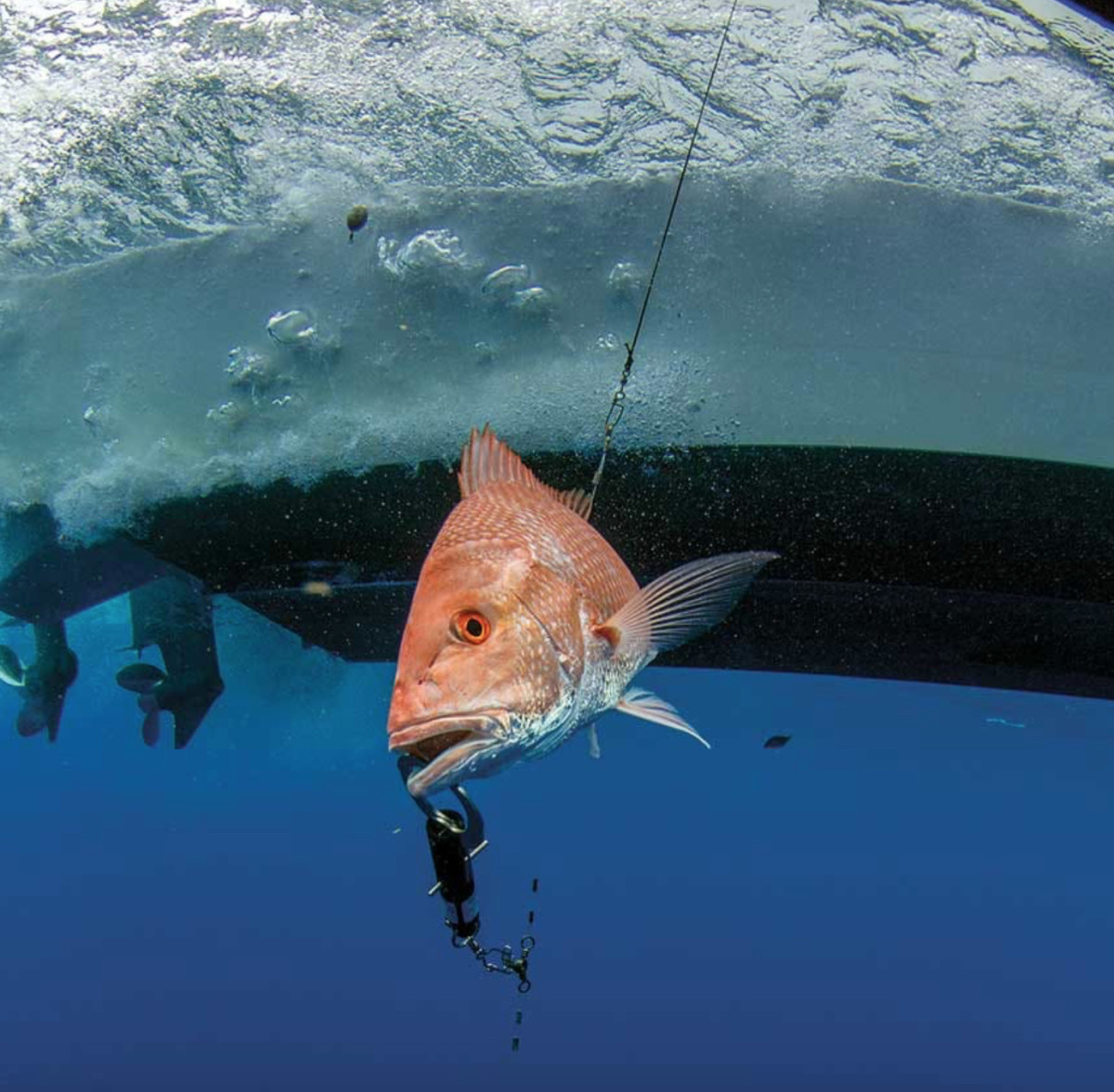 Descending devices have reduced catch-and-release mortality rates by two thirds for some deepwater species. Photo by Adrian Gray.