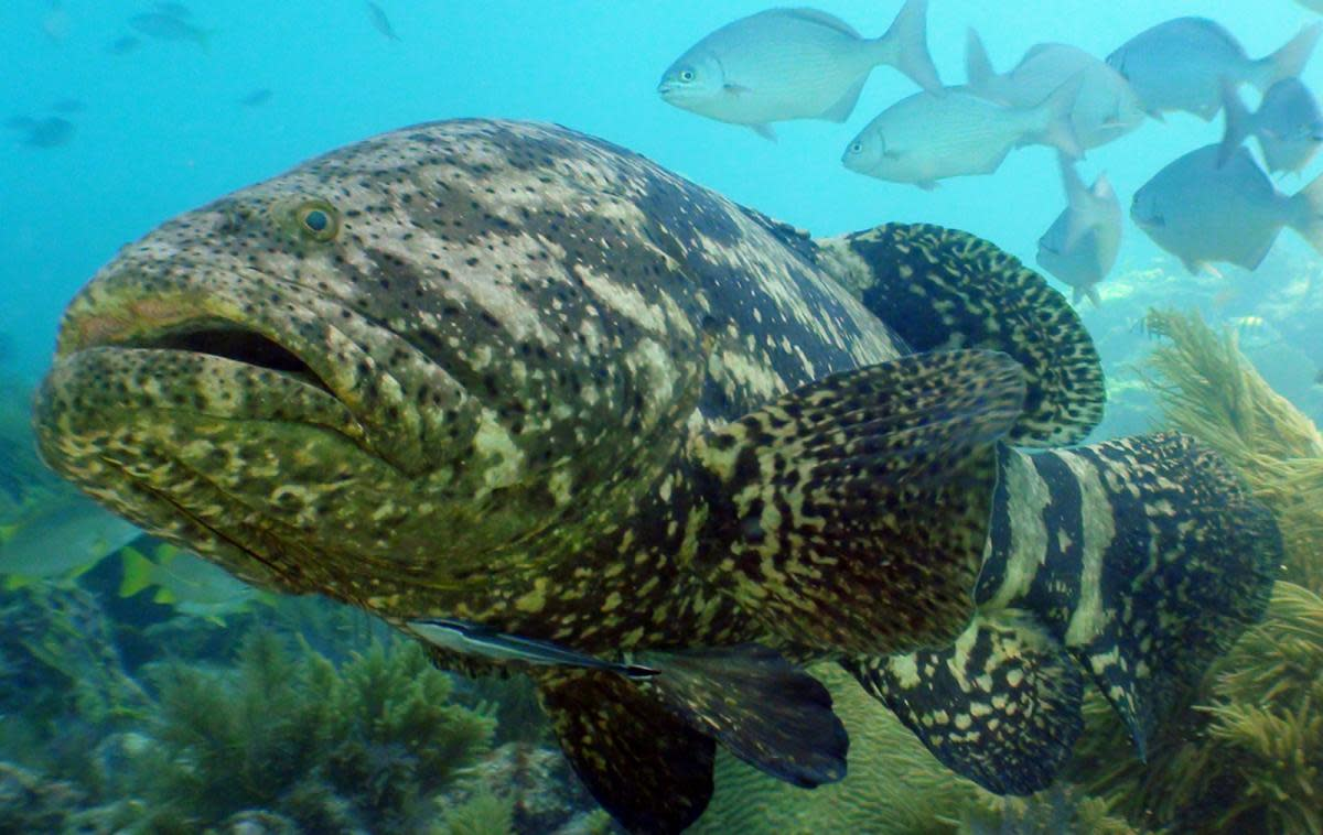 Goliath groupers grow to immense size.