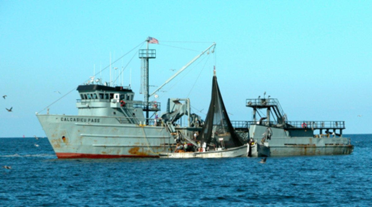 Commercial fishing is contributing to the depletion of Chesapeake Bay menhaden stocks.