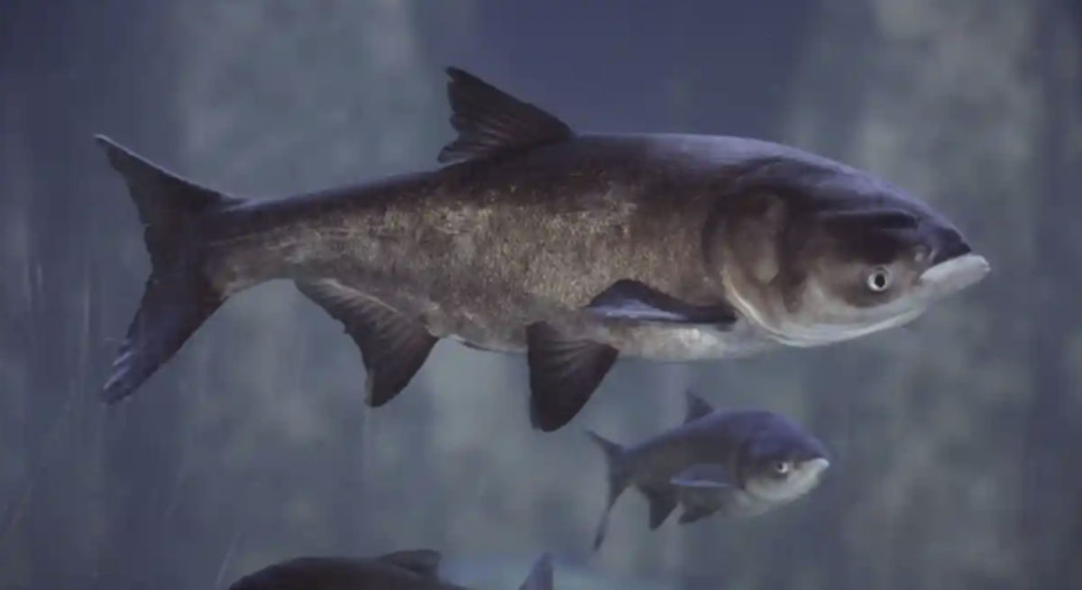 Asian carp are a highly aggressive invasive fish.