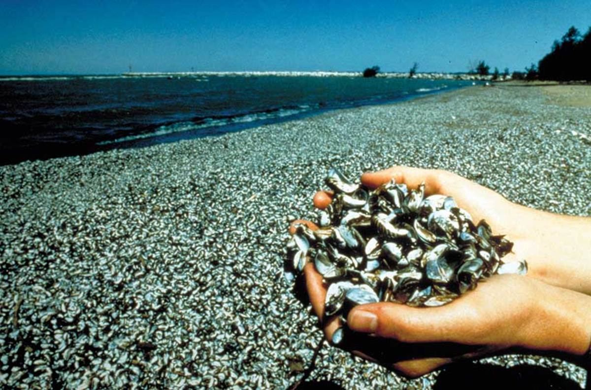 Once zebra mussels are introduced to a lake, it doesn't take long for the invasive species to overwhelm it.