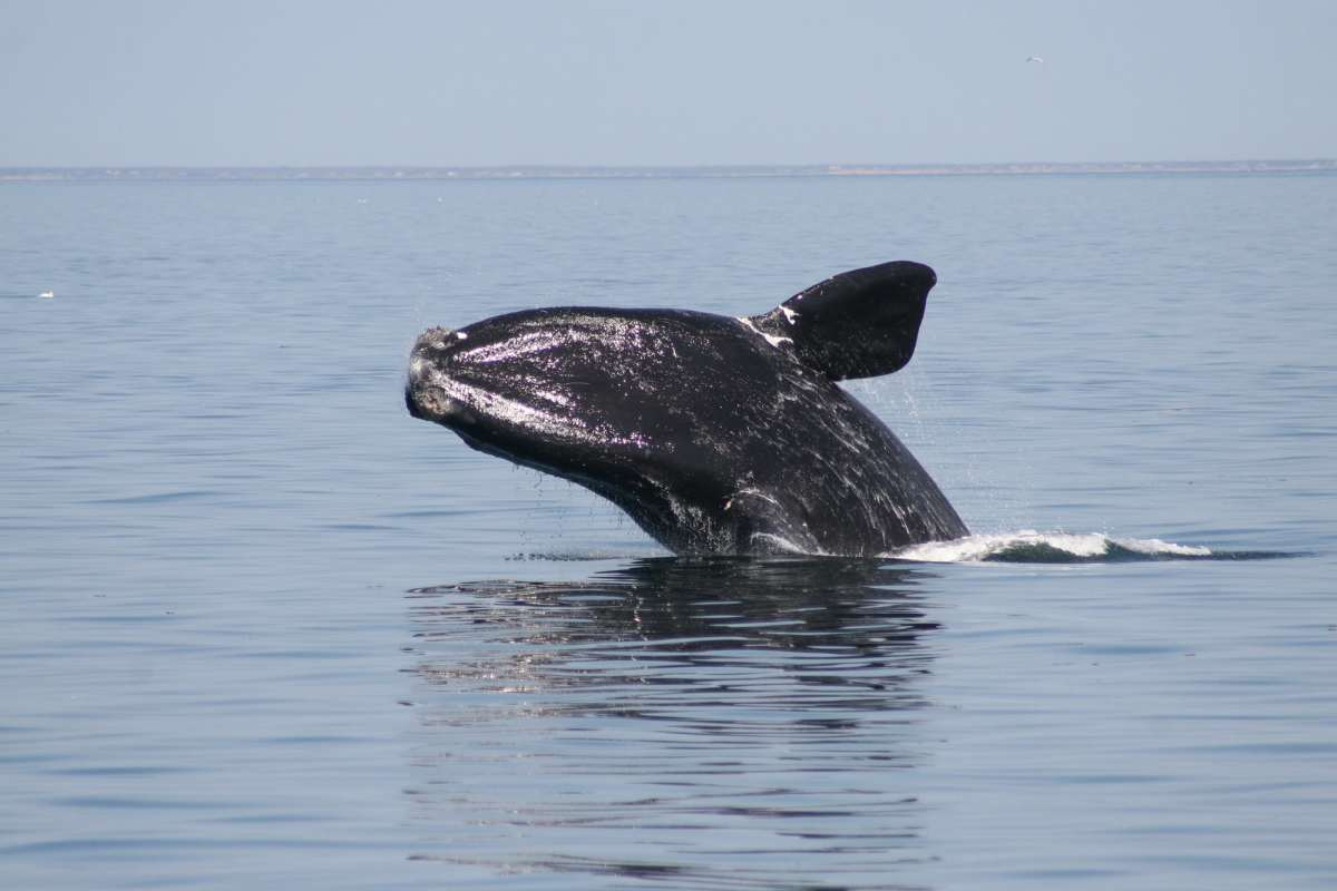 The new buoys will provide important information on species such as the North Atlantic Right Whale.