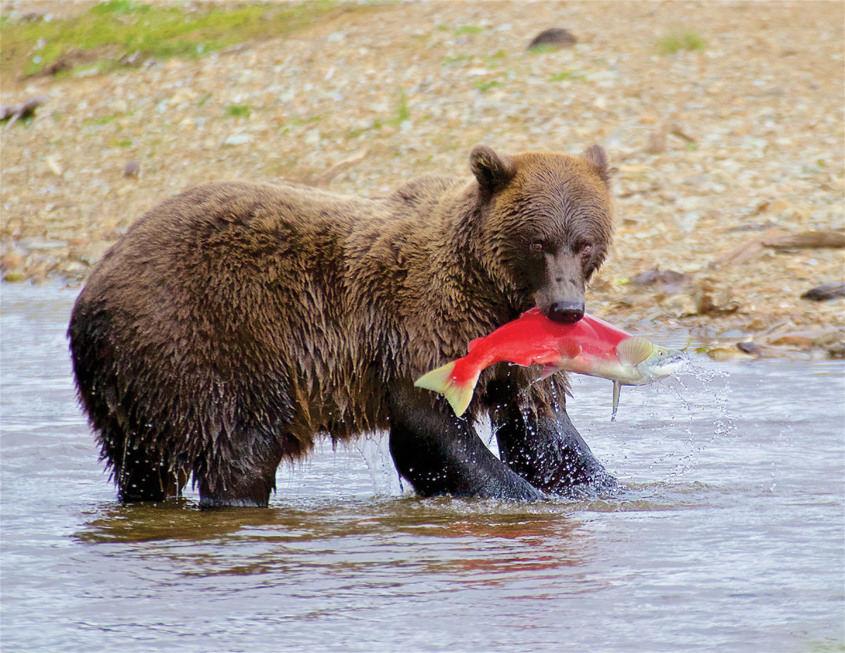 Along with humans, bears and other wildlife are dependent on the Bristol Bay watershed salmon runs.