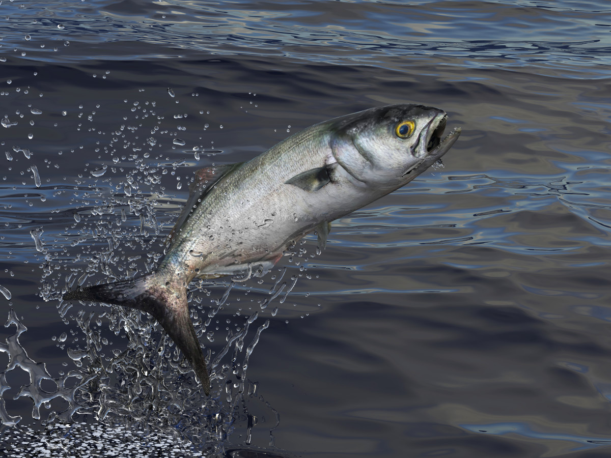 Bluefish are a popular target for anglers along the Atlantic coast.