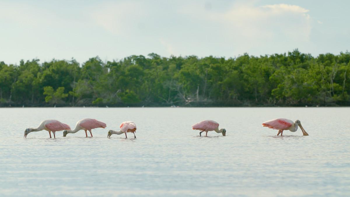 3_CFCW_Florida Roseate Spoonbills