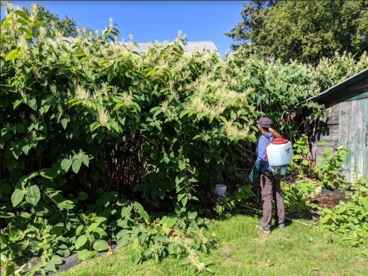 Herbicide is applied to Japanese knotweed.