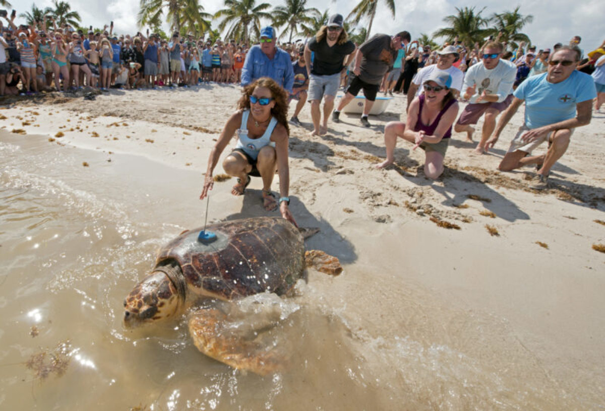 Little is known about the migratory patterns of adult loggerhead turtles.