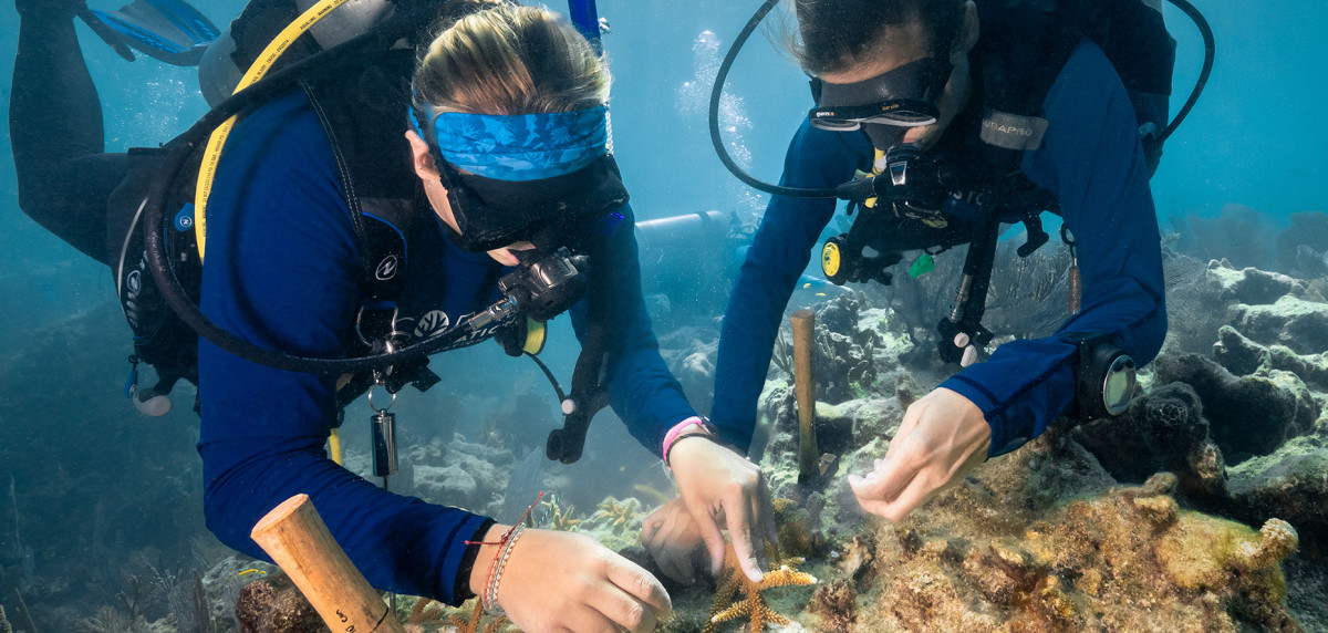 Divers replant staghorn coral. Coral Restoration Foundation photo